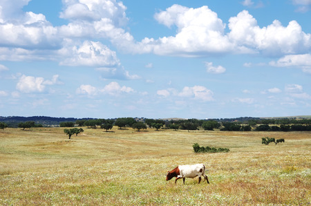solitary cow in agricultural field Stock Photo