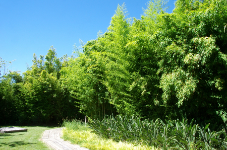 Bambu green in a garden Imagens