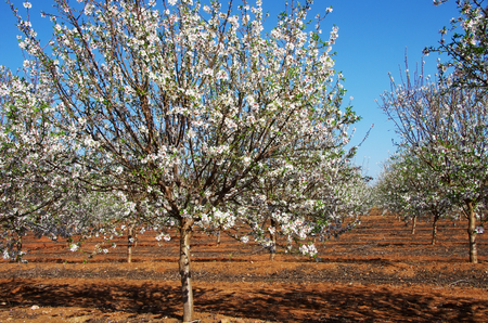 field of blossoming almond trees in south of Portugal Stok Fotoğraf