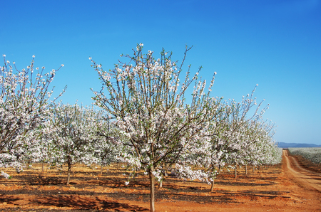 Almond trees blooming in orchard against blue sky Stok Fotoğraf