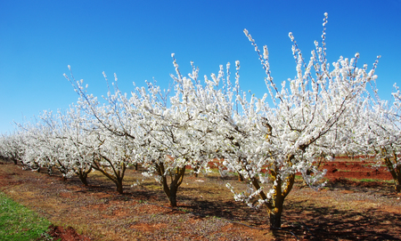 a field of blossoming almond trees  Stok Fotoğraf