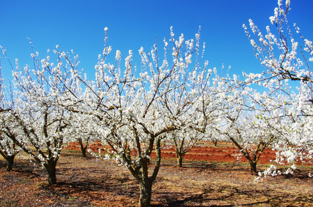 Blossom orchard at south of Portugal Stok Fotoğraf