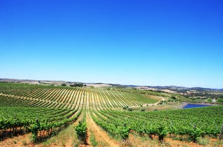 Weinberg in der Region Alentejo, im Süden Portugals Standard-Bild