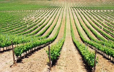 Rangées de vignoble au Portugal, région de l'Alentejo Banque d'images