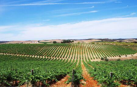 Campo de viñedos, región de Alentejo, Portugal Foto de archivo