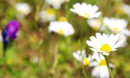 Closeup of the flower of marguerite flower in field