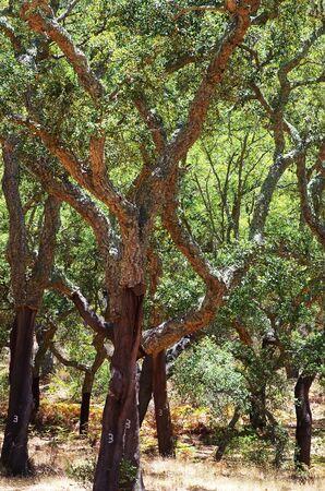 mediterranean forest in Serra Ossa, south of Portugal Standard-Bild - 131221410