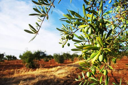 green olives on branch at field Standard-Bild - 131221438