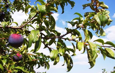 ripe plums on branch in orchard Standard-Bild - 131221464
