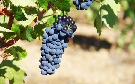 closeup of ripe grapes in vineyard Standard-Bild - 131221463