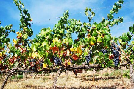 grapes in branches of vineyard Standard-Bild - 131221471