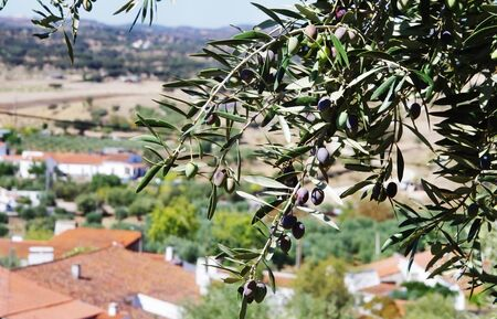olive branches against old village at Portugal Standard-Bild - 131221503