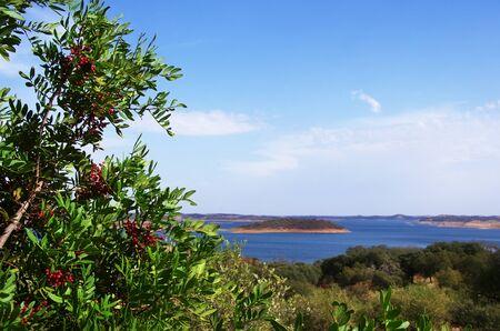 red holly berry near Alqueva lake, southern Portugal Standard-Bild - 132701876