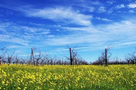 winter vineyard at south of Portugal Standard-Bild - 136270101