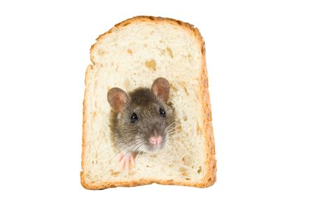 curious rat looking through hole in sandwich bread photo