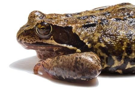 anuran: frog on white background