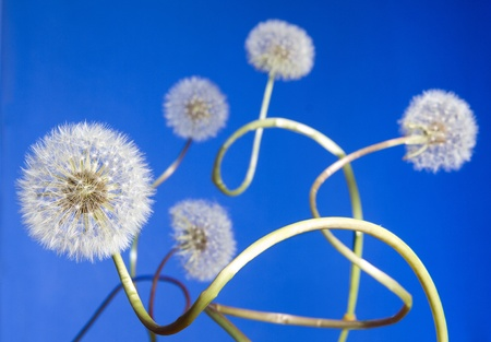 Group of curly dandelions on blue sky background photo