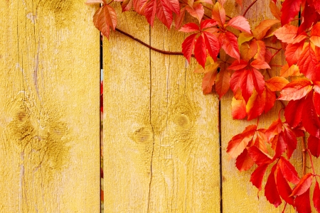 interlace: Autumn background: grape red leaves over grunge wooden texture