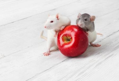 rata: Las ratas con la manzana en blanco grunge fondo de madera