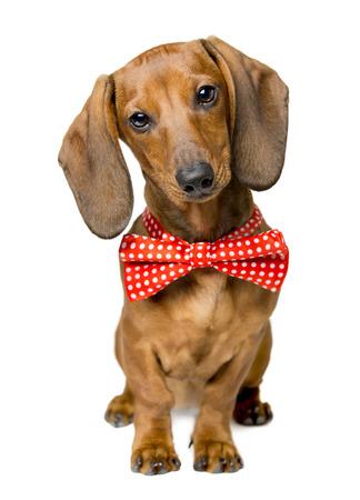 Hond Gekleed Strikje, Portret van Dackel met Bow-Tie, Animal Clothes dragen Idea Stockfoto