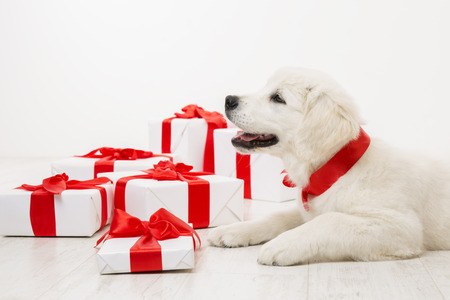 New Year Dog, White Retriever Puppy and Christmas Present Gift Boxes, Holiday Animal Pet with Red Ribbon