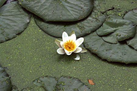 duckweed: water lily among duckweed