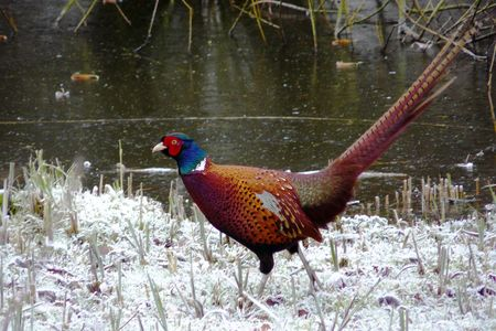 a mail pheasant walking on the snow