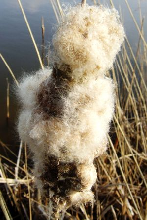 waterside: a common cattail at the waterside Stock Photo