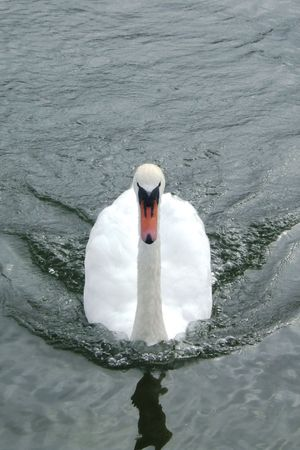 a threatening mute swan Stock Photo - 2690053