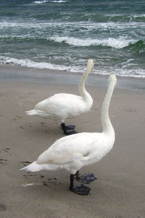 honouring: two mute swans staring at the sea
