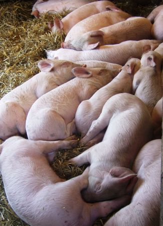 county side: piglets