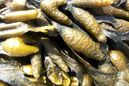wrack: bladder wrack Stock Photo