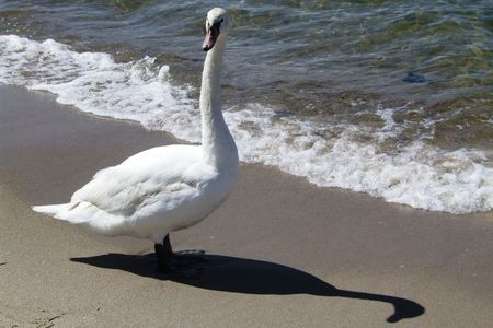 olur: a mute swan at the beach Stock Photo