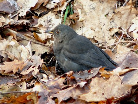 turdus: blackbird (turdus merula)