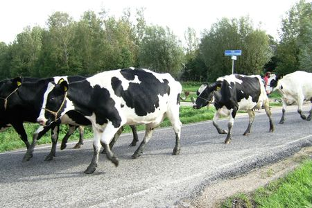 Frisian cows on the road back to the stable