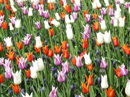 a field with tulips and blue bells Stock Photo - 2735979