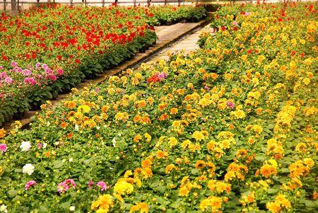 moistness: Piante fiorite di Dalia in una serra  Archivio Fotografico