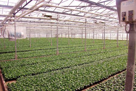moistness: Dahlia piante in una serra