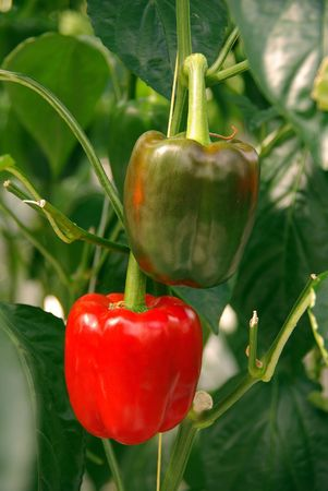 Paprika plants in a greenhouse Stock Photo