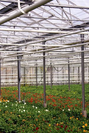 cultivator: Flowering dahlia plants in a greenhouse
