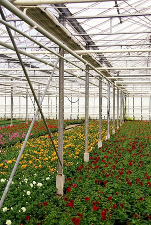 dampness: Flowering dahlia plants in a greenhouse