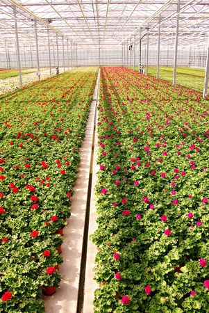 Geranium plants in a greenhouse photo