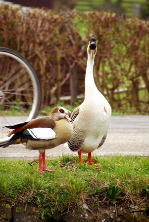 An Egyptian goose and a greylag at the waterfront photo