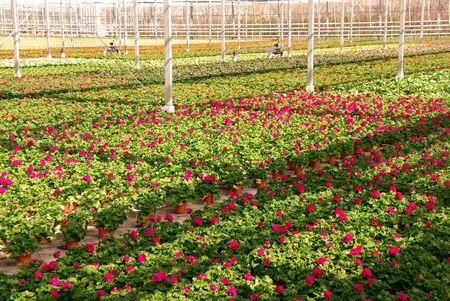 moistness: Geranio piante in una serra