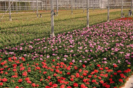 Geranium plants in a greenhouse