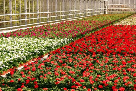 moistness: Flowering geranium plants in a greenhouse
