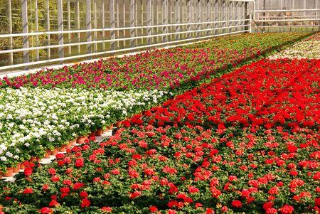 moistness: Geranio di fioritura delle piante in una serra
