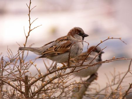 House sparrows sitting at a bunch photo
