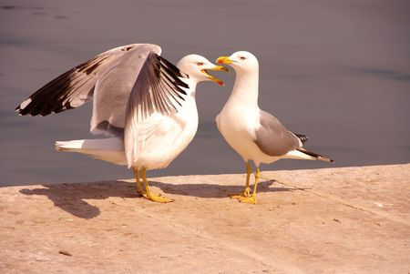 Two displaying herring gulls Stock Photo - 3183006