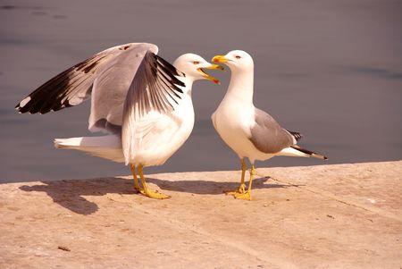 larus: Two displaying herring gulls Stock Photo